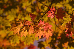 Maple leaves forever. Autumn maple leaves, photographed with gold filter Royalty Free Stock Photos