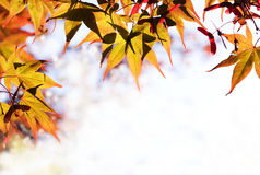 Maple leaves form a border. Maple leaves - bright orange - frame with copyspace Royalty Free Stock Photo