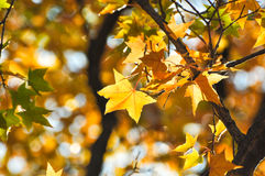 The maple leaves in Fragrance Hills Royalty Free Stock Photo