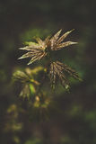 Maple leaves. Fresh leaves of a young maple tree in spring stock images