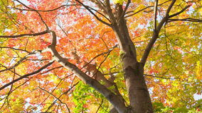 Free Maple Leaves From Low Angle Pan Royalty Free Stock Photo - 45232205