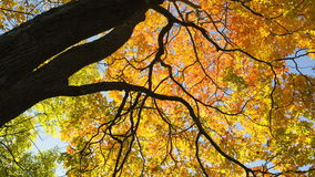 Free Maple Leaves From Low Angle Pan Royalty Free Stock Images - 45232389