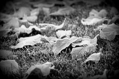 Maple Leaves in the Frost. Dramatic view of Maple leaves lying on the grass in the Fall. The leaves have fallen off the Maple trees. In the early morning they stock photo