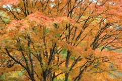 Maple leaves in garden Royalty Free Stock Photo