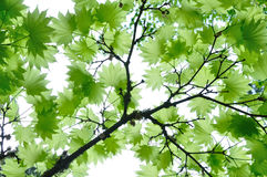 Maple leaves in garden Royalty Free Stock Photography
