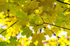 Maple leaves Royalty Free Stock Photography