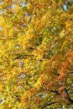 Maple leaves, golden autumn Stock Photos