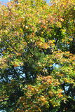 Maple leaves, golden autumn Royalty Free Stock Images