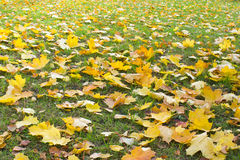 Maple leaves on the grass. Royalty Free Stock Photos