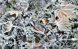 Maple leaves and grass covered with ice crystal. The photo was taken in the forest the last days of November Stock Photos