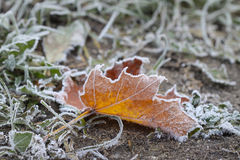 Colorful maple leaves on the grass in the frost Stock Photos