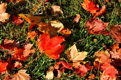 Maple leaves on the grass Royalty Free Stock Images