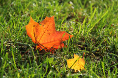 Maple leaves in the grass Royalty Free Stock Images