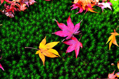 Maple Leaves on green grass. Maple Leaves with different colors on green grass Royalty Free Stock Photography