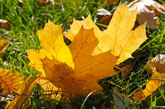 Maple leaves on green grass Stock Photo