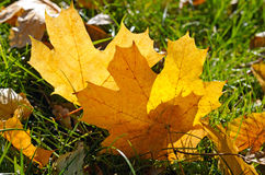 Maple leaves on green grass Stock Images