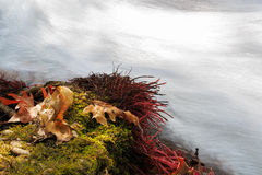 Maple leaves on the green moss with red roots above water. Royalty Free Stock Photos