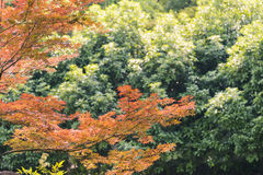 Maple leaves and green trees Royalty Free Stock Photos