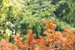Maple leaves and green trees Royalty Free Stock Photo