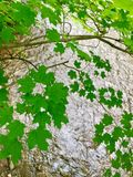 Maple leaves. Green Maple Leaves  tumbling  downwards reaching for runnimg river below on a summer,s day Royalty Free Stock Image