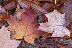 Maple Leaves on the Ground Stock Photo