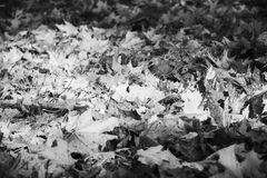 Maple leaves on ground Royalty Free Stock Image