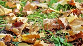 Maple leaves on the ground in autumn stock video