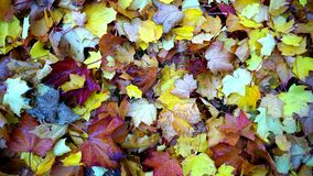 Maple Leaves on Ground Close Up Photo during Daytime Royalty Free Stock Photos