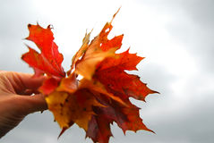 Maple leaves in hand Royalty Free Stock Images