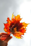 Maple leaves in hand Stock Image