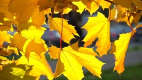 Maple leaves illuminated be the sun in the city stock video footage