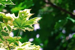 Maple leaves on an indistinct green background Royalty Free Stock Image