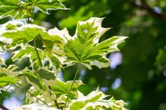 Maple leaves on an indistinct green background Stock Image