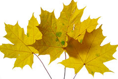 Maple leaves isolated Royalty Free Stock Images