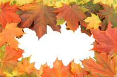 Maple leaves isolated Royalty Free Stock Photos