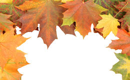 Maple leaves isolated Stock Image