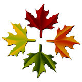 Maple leaves isolated over white Stock Photography