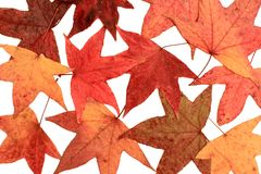 Maple Leaves 1 Royalty Free Stock Photos
