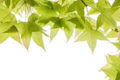 Maple leaves isolated on white background Royalty Free Stock Photos