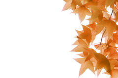 Maple leaves isolated on white background Stock Photos