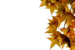 Maple leaves isolated on white background Royalty Free Stock Image