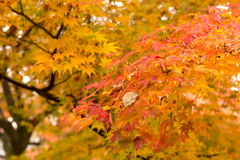 Maple leaves in japan Stock Image