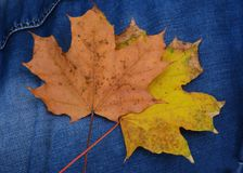 Maple leaves on jeans Stock Image