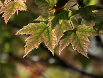 Maple Leaves Just Turning Royalty Free Stock Images
