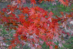 Maple leaves (koyo) Stock Photo