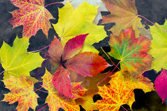 Maple leaves  in lake Royalty Free Stock Images