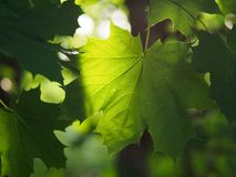 Maple leaves are large. Green Krona maple stock photography