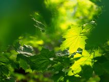 Maple leaves are large. Green Krona maple stock images