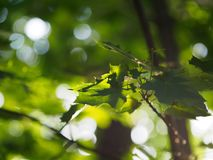 Maple leaves are large. Green Krona maple royalty free stock images