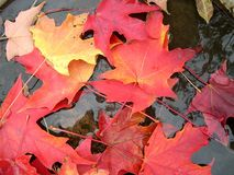 Maple leaves laying in puddle Royalty Free Stock Photo
